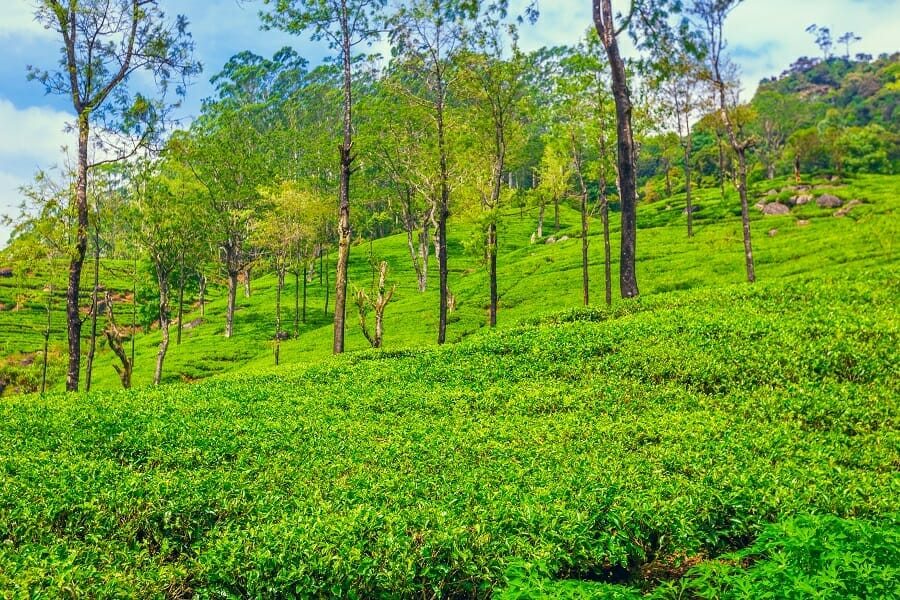 Green plantation of Ceylon tea in Sri Lanka