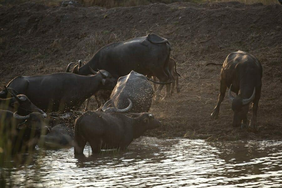 Water buffalos in water